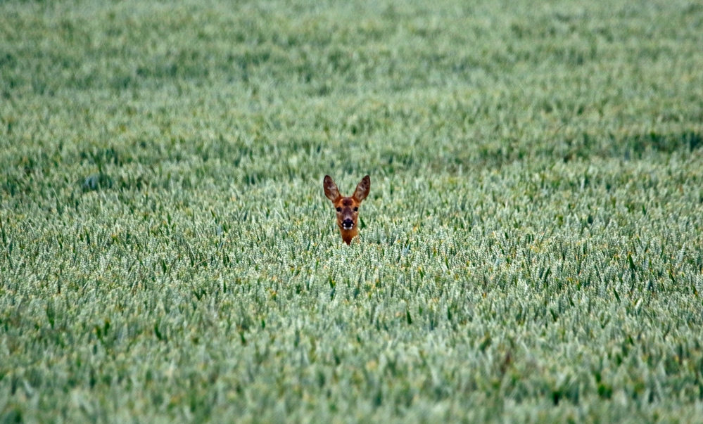 Roe deer in the barley