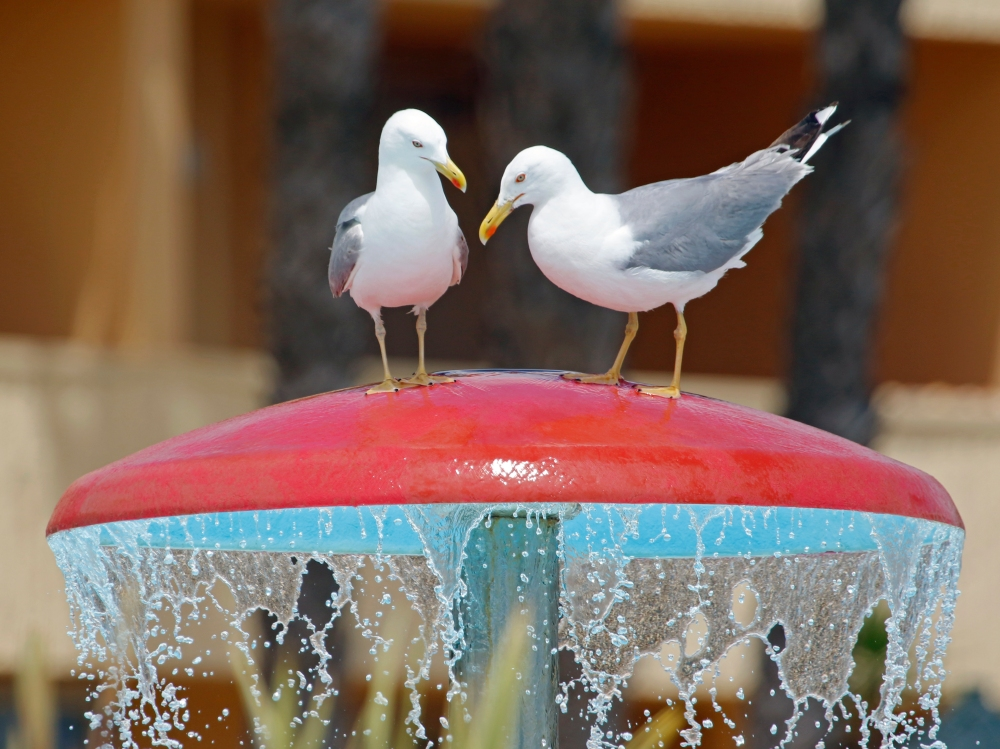Yellow legged gulls enjoy the hotel facilities.