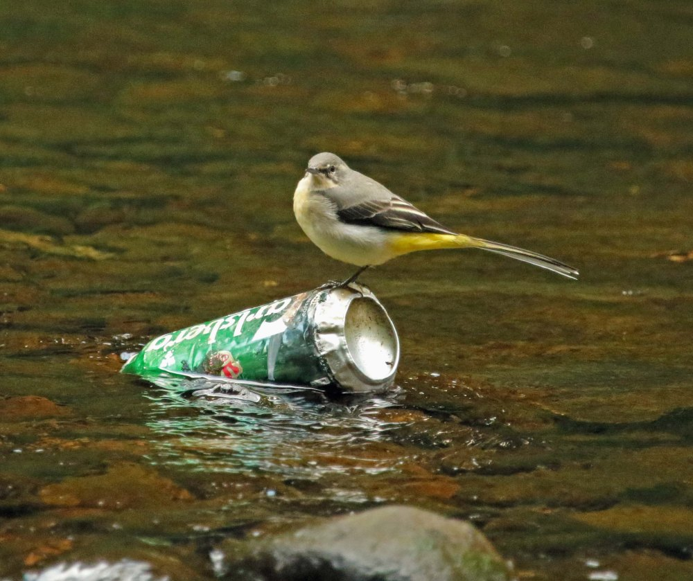 Grey wagtail on river pollution.