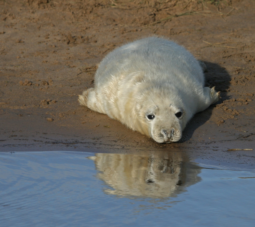 Grey seal pup studying there reflection