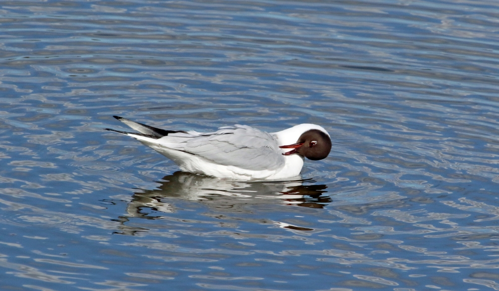 Preening black headed gull