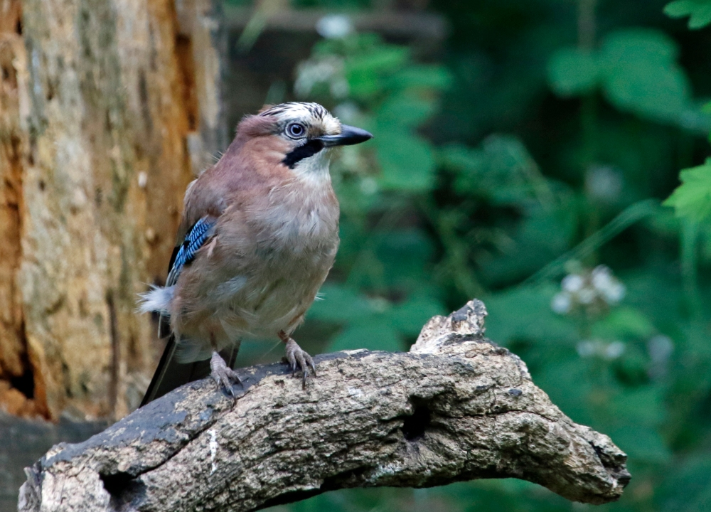 Jay on log