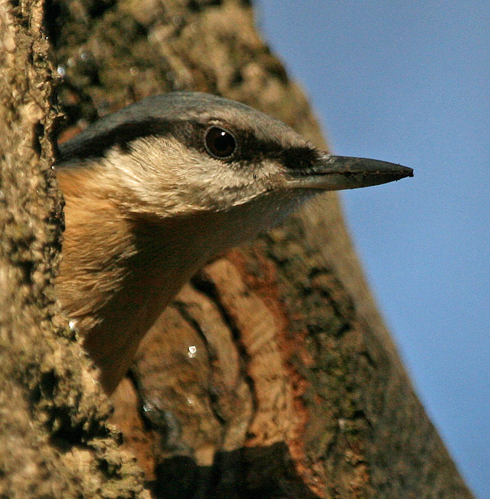 Nuthatch in nest hole