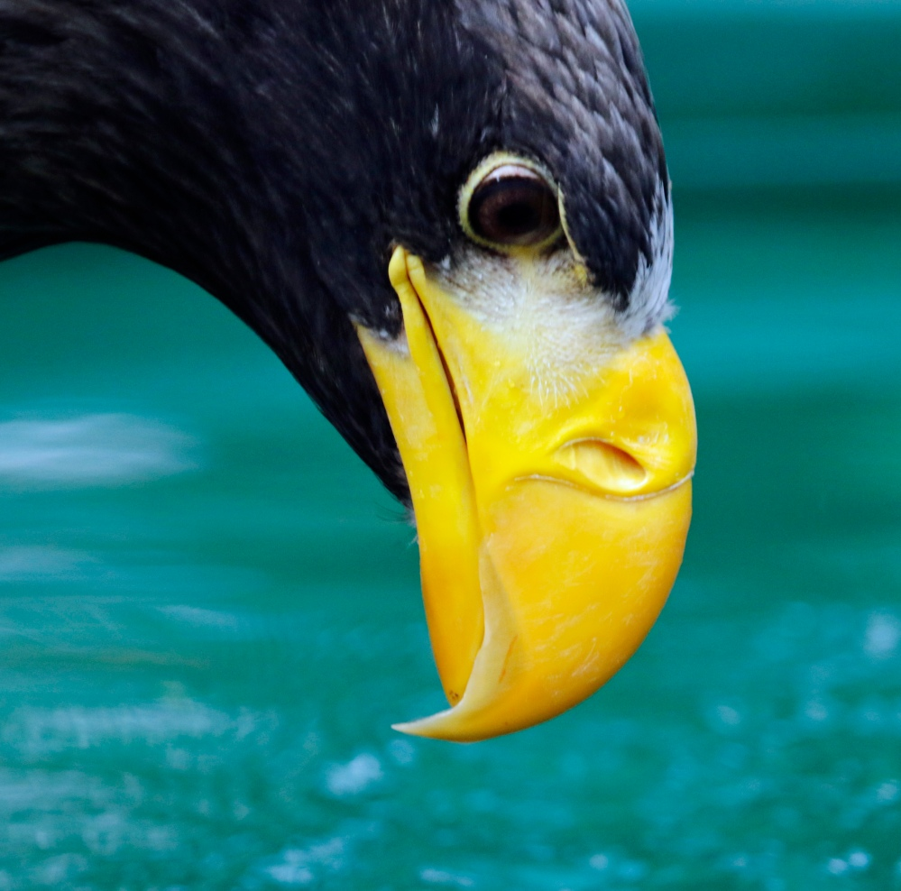 Steller's Sea Eagle beak