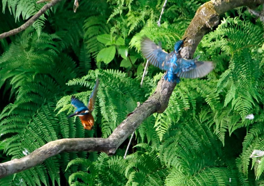 Squabbling kingfishers