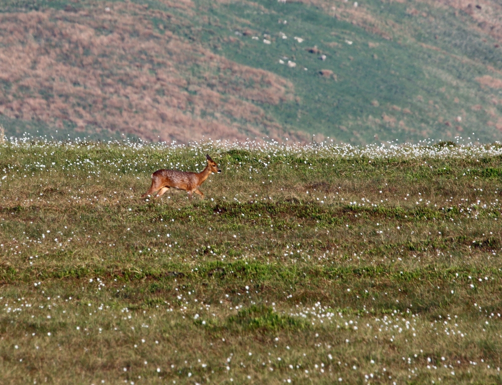 Roe deer among the cotton grass