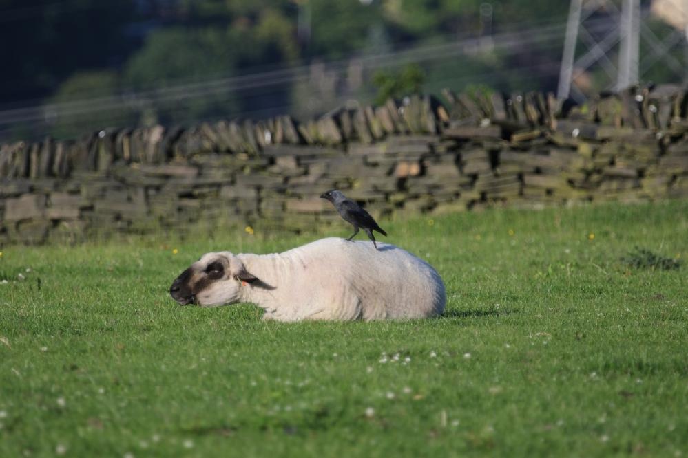 Jackdaw on sheep