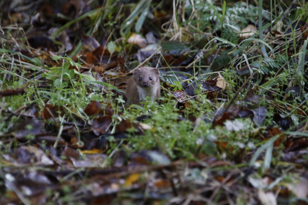 Weasel in the grass
