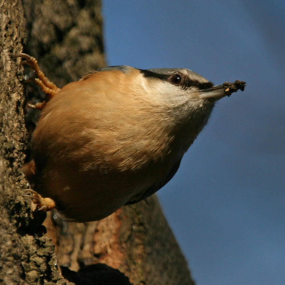 Nuthatch repairing nest