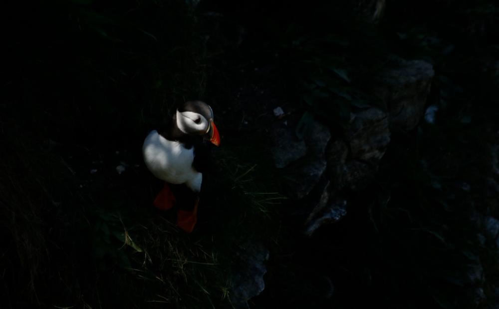 Puffin in the shadows
