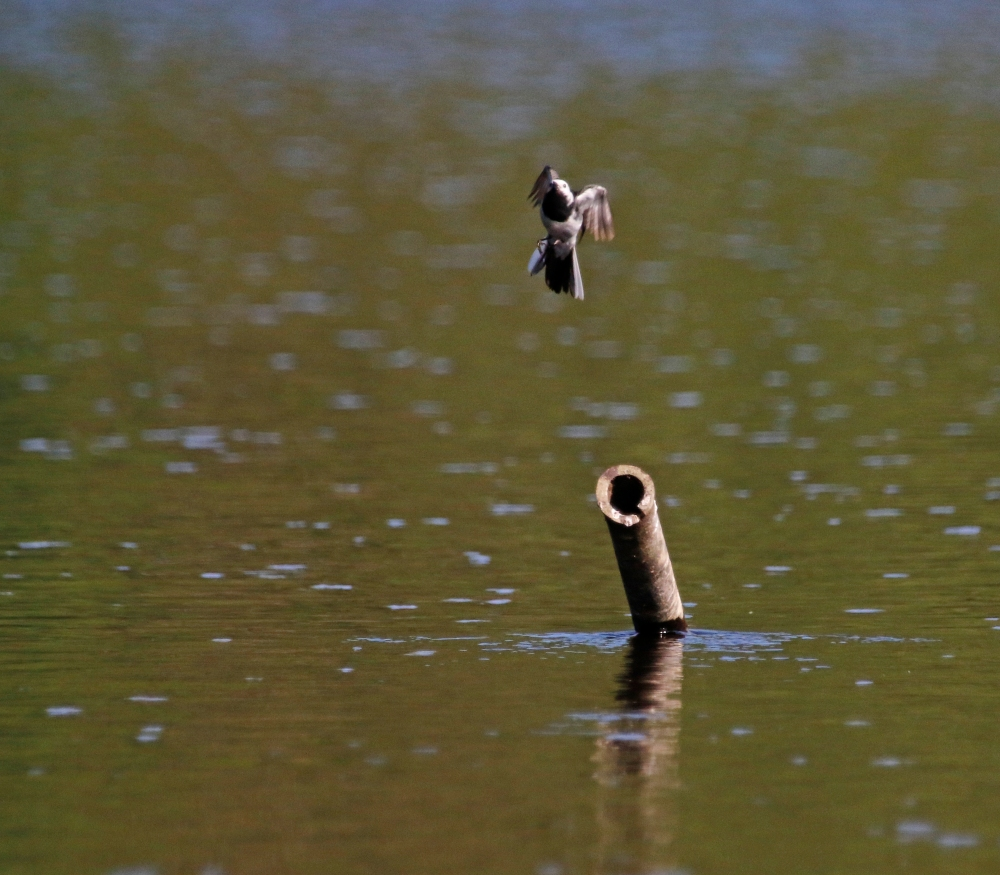 Wagtail cannonball