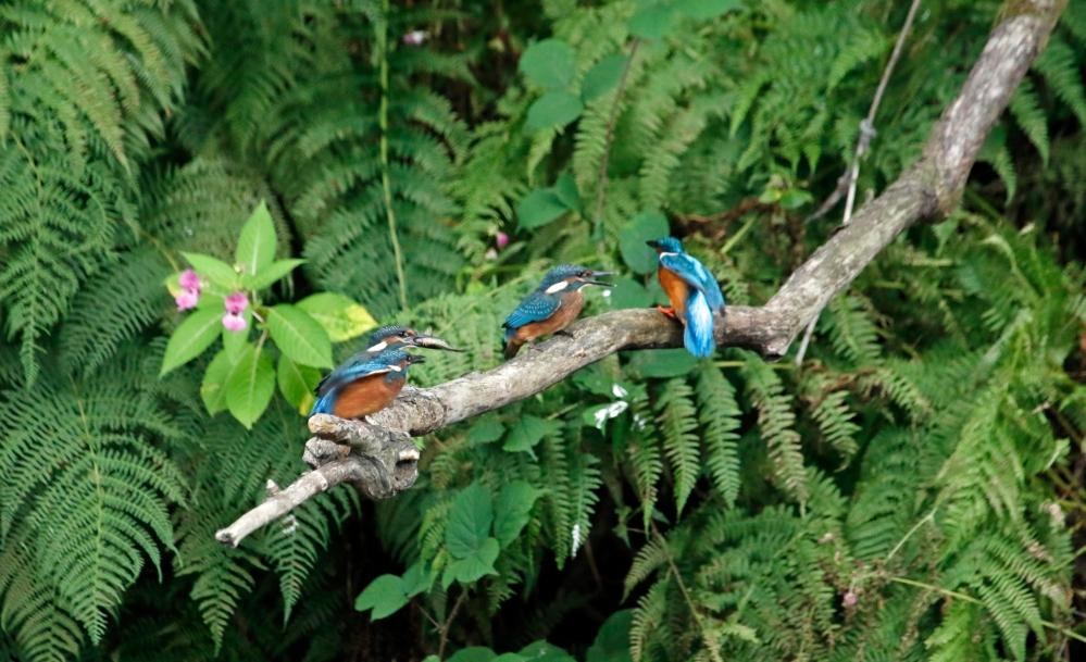 Four kingfishers
