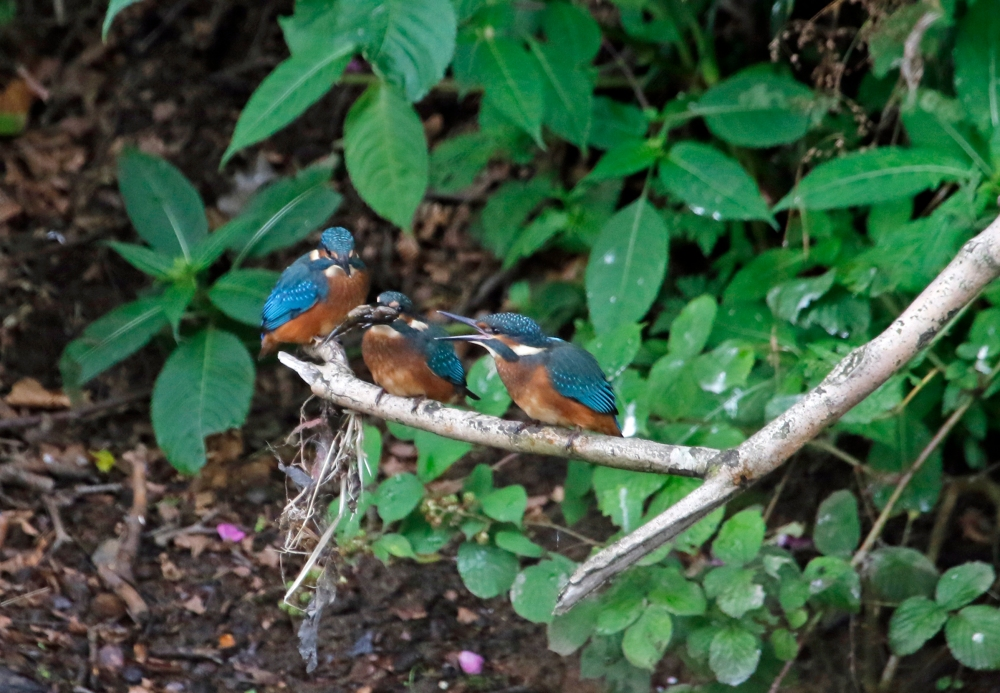 Kingfishers squabbling over a fish