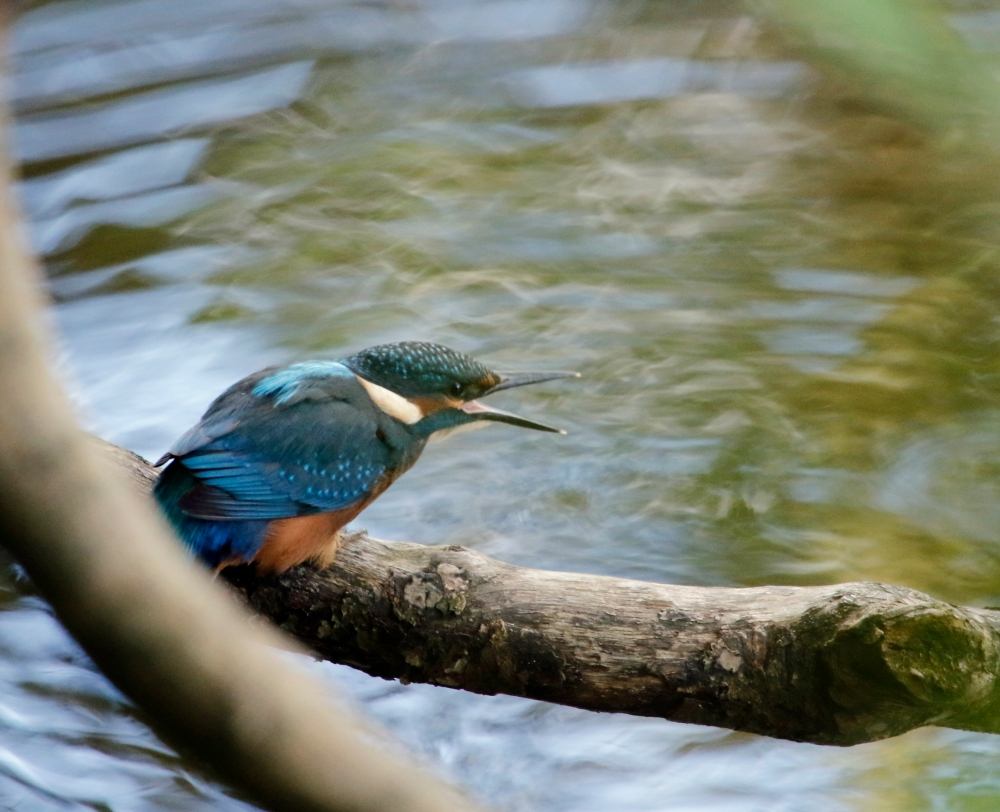 Juvenile kingfisher calling for food