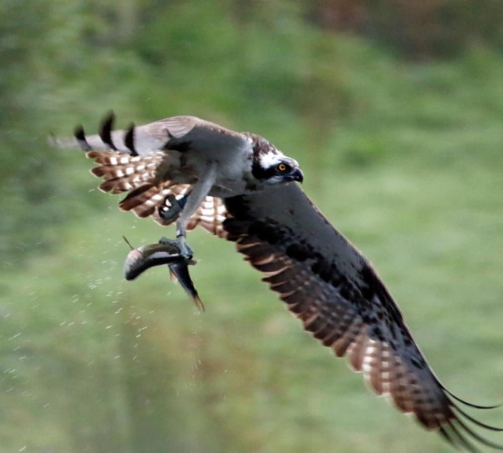 Fishing Osprey