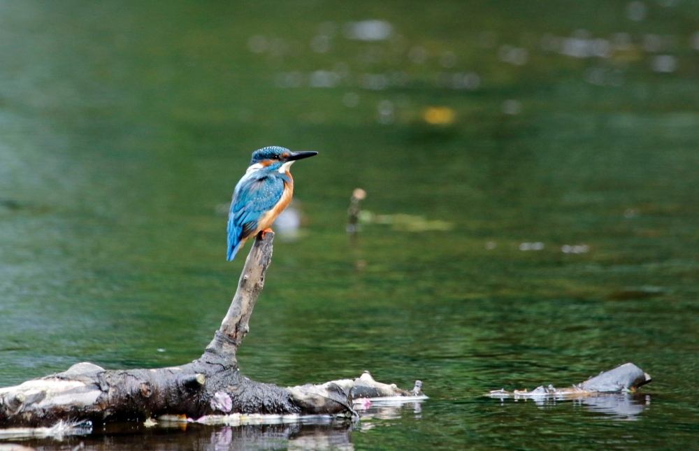 Male kingfisher on lookout