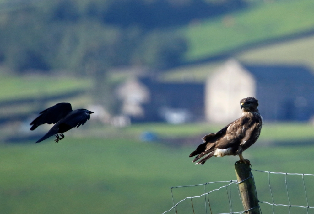 Crow v Buzzard
