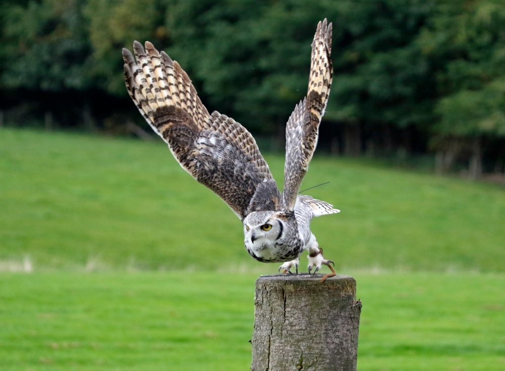 Owl lift off