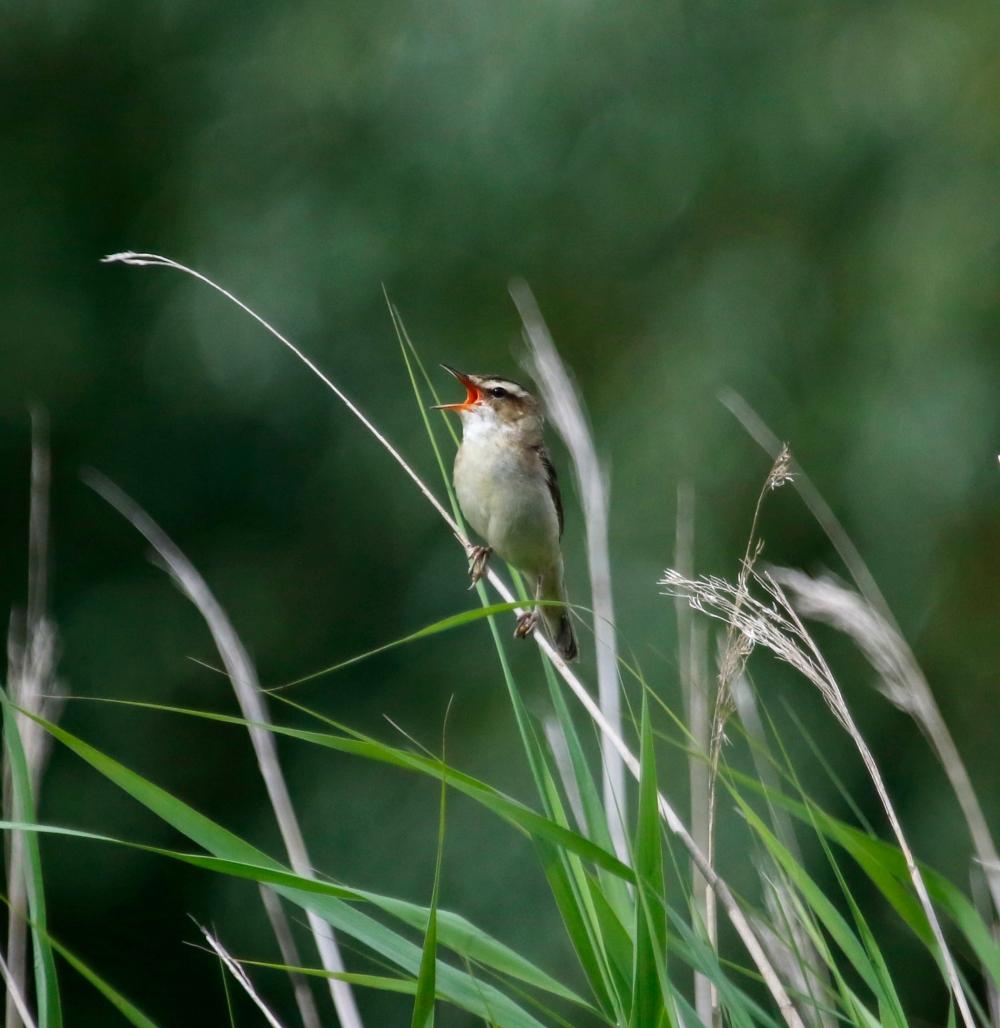 Reed warbler warbling