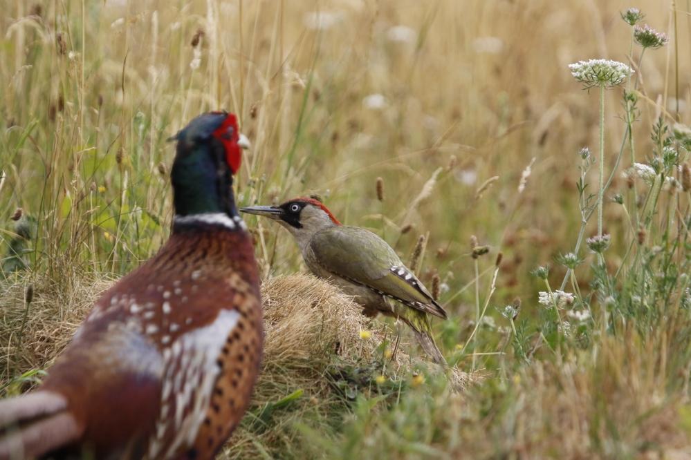 Photobombing pheasant