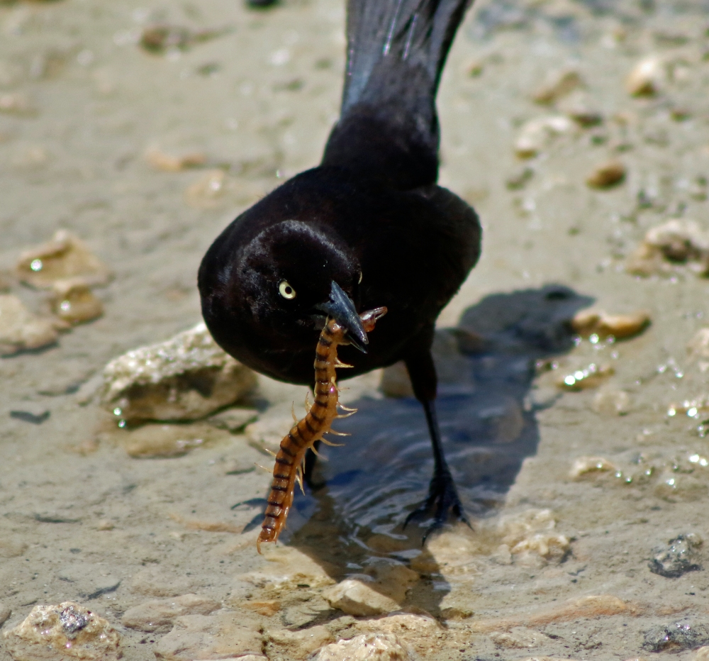 Grackle with lunch