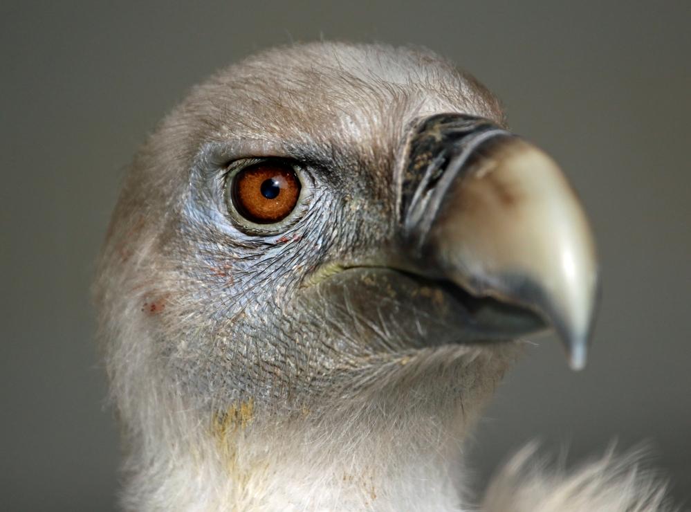 Vulture portrait