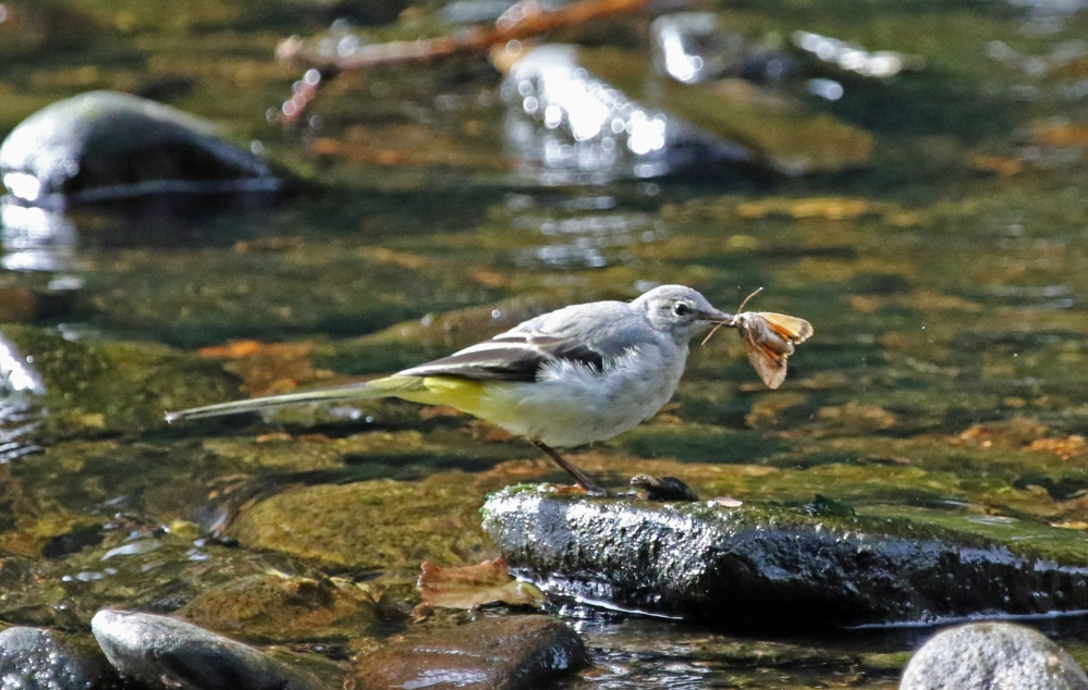 Grey Wagtail with moth
