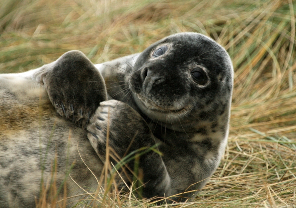Smiling grey seal