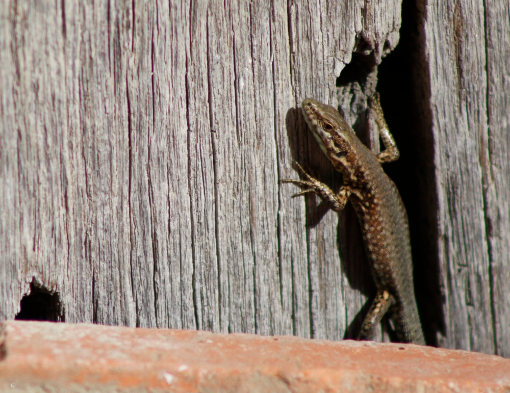 Common lizard emerging