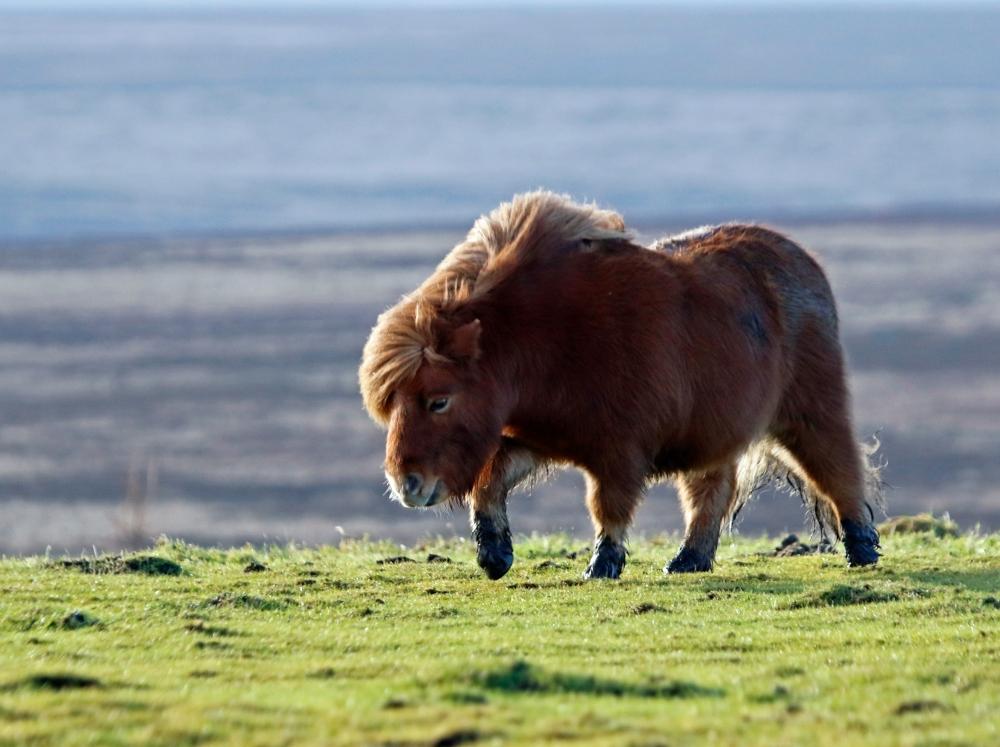Moor Top Pony