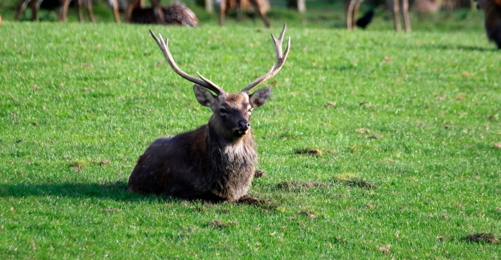 Stag at rest
