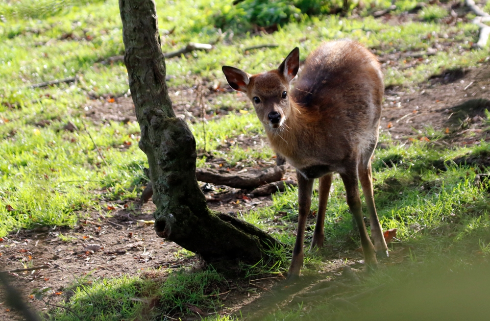Curious red deer fawn