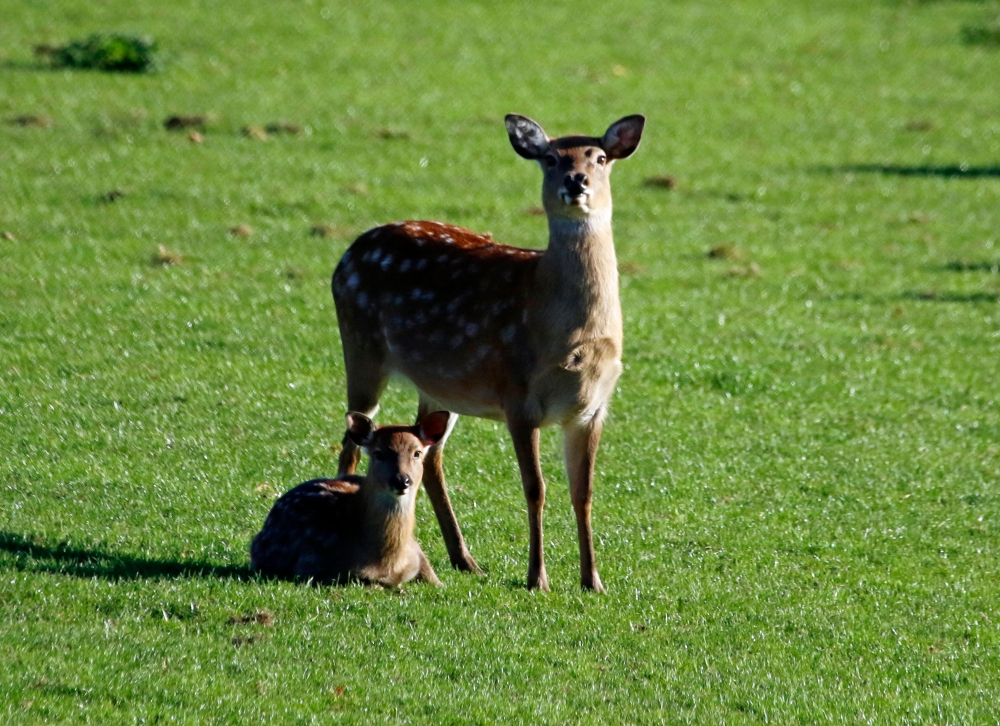 Red deer hind and fawn