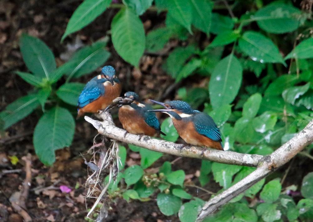 3 juvenile kingfishers and a fish