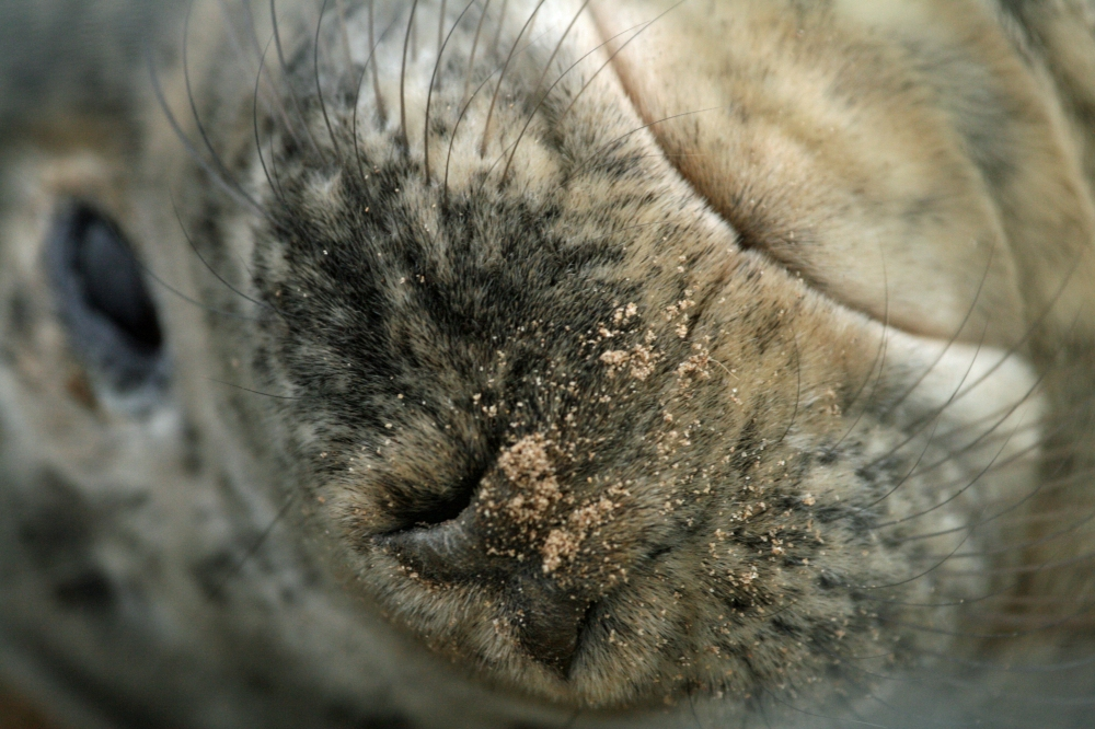 Seal pup close up