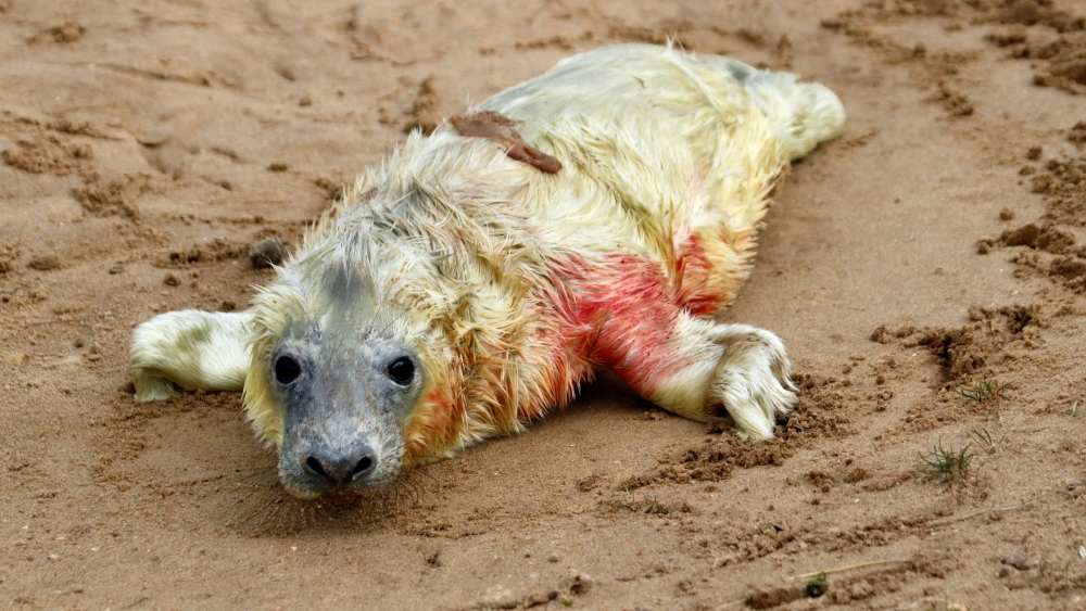 New born grey seal.