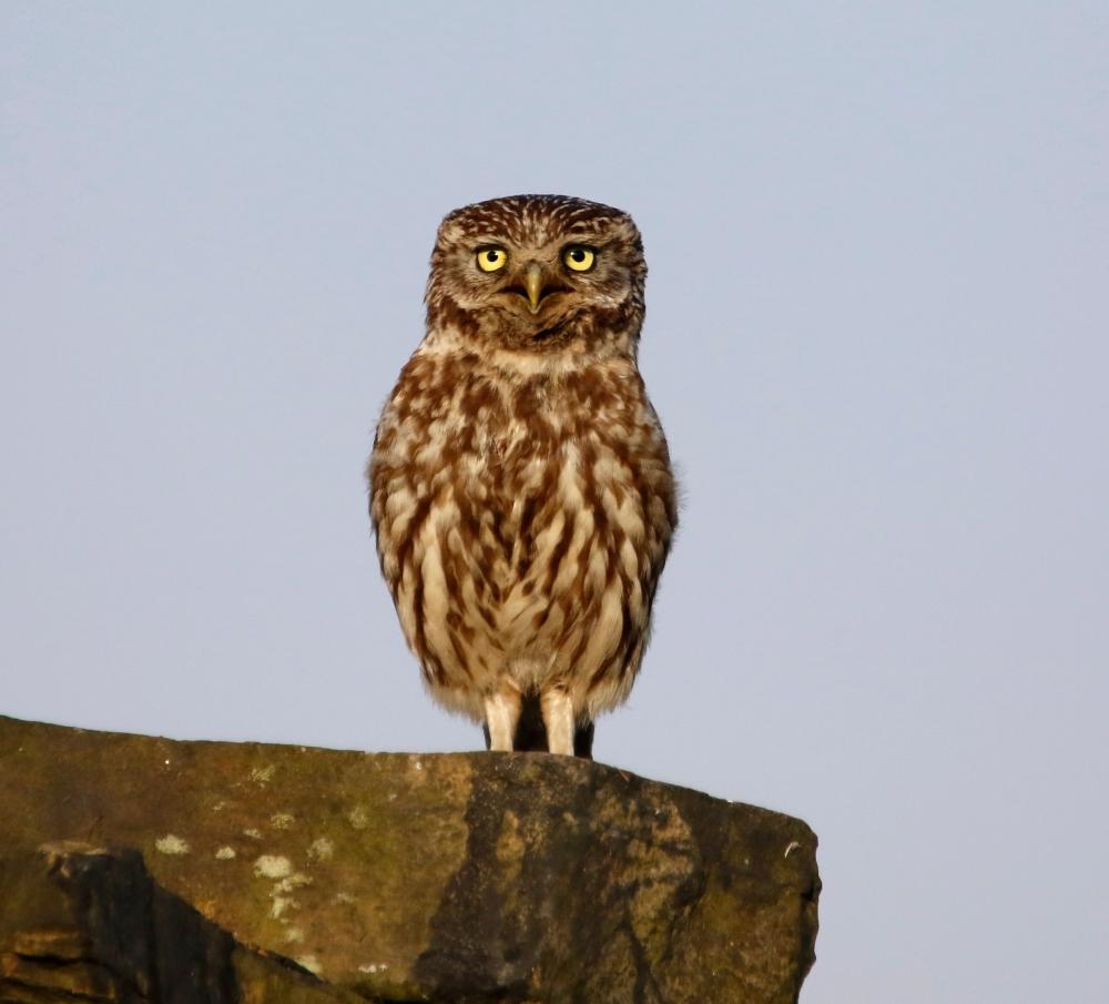 Little Owl Calling